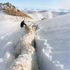 Sheep Buried in Snow